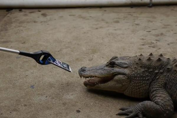 如此评测!借短吻鳄咬iPhone 7检测耐久性