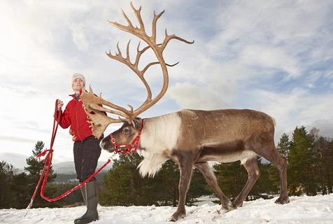 英国唯一野生驯鹿群为各地圣诞添彩