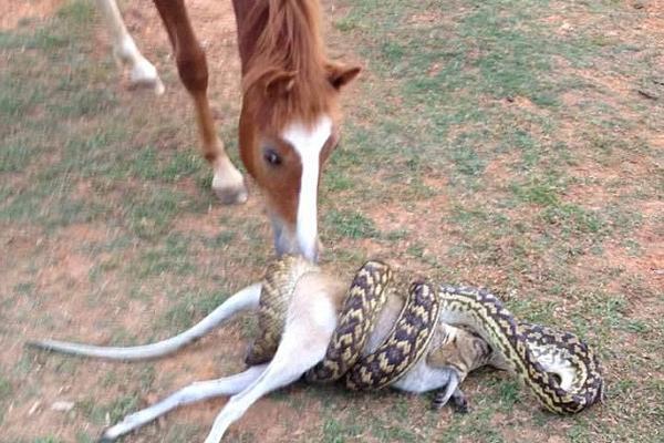 """不忍直视!澳巨蟒吞食沙袋鼠惊呆""""马观众"""""""