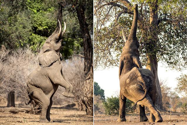 津巴布韦大象瑜伽体花式吃树叶 舒展庞大身躯