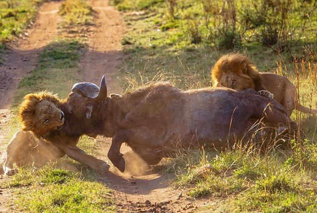 非洲两饥饿雄狮兄弟扳倒凶猛水牛