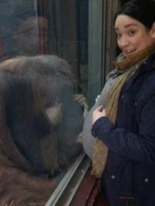 英准妈妈逛动物园隔空接受猩猩亲吻感动落泪