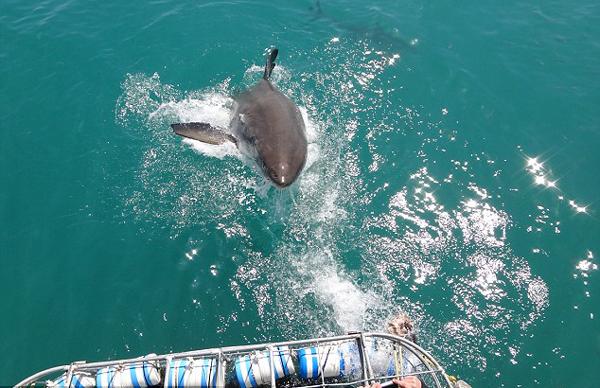 惊险!南非一大白鲨跃出水面欲捕食船上乘客