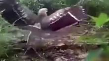 男子用公鸡诱捉老鹰 自称从未失手