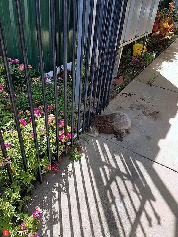 """考拉试图闯花园遇""""尴尬"""" 脑袋卡栅栏下出不来"""