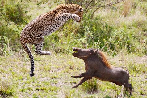 肯尼亚怀孕母豹飞身跃起捕食疣猪