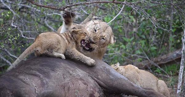 南非母狮子因被抢食怒扇其幼崽