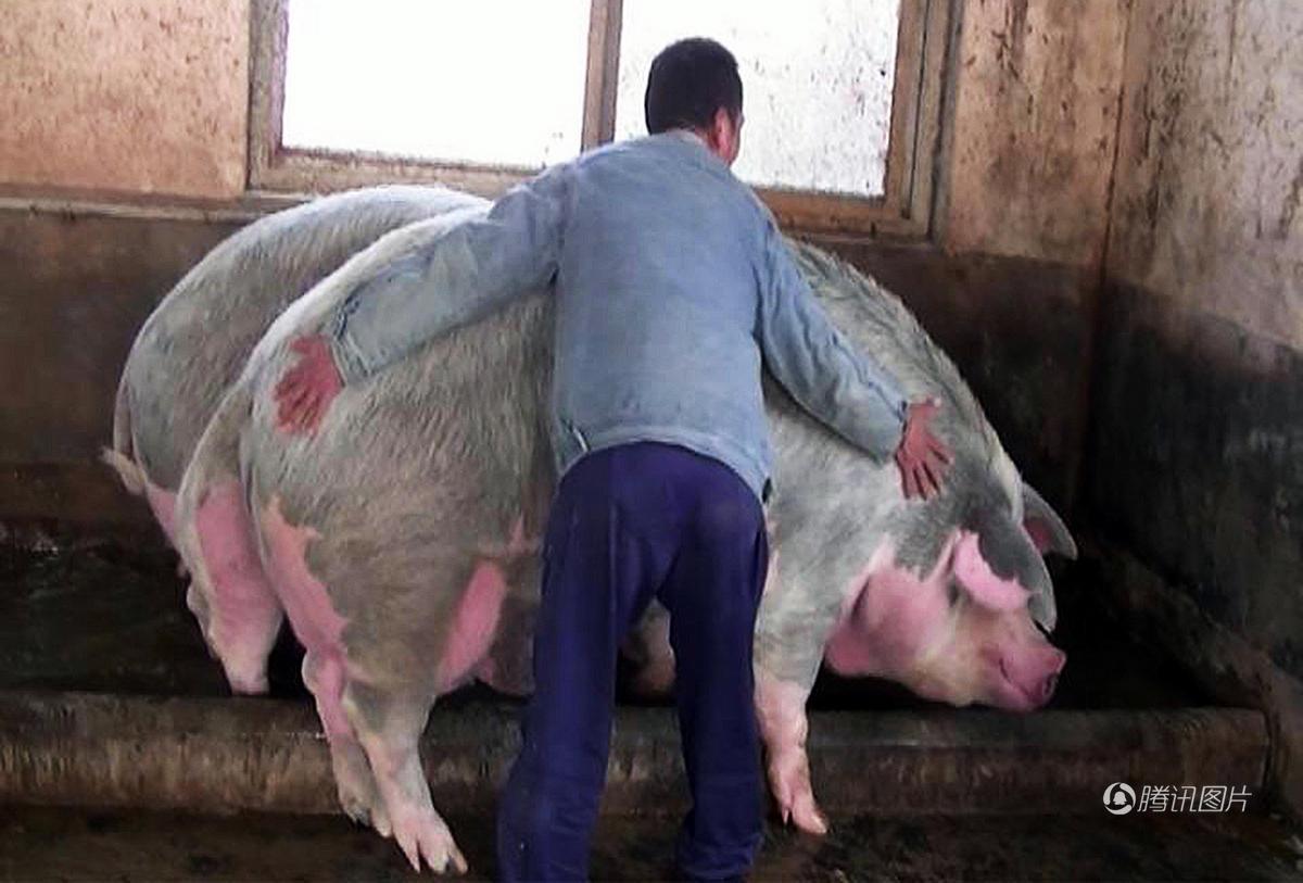 """郑州/郑州1500斤""""猪王""""美女当牛骑"""