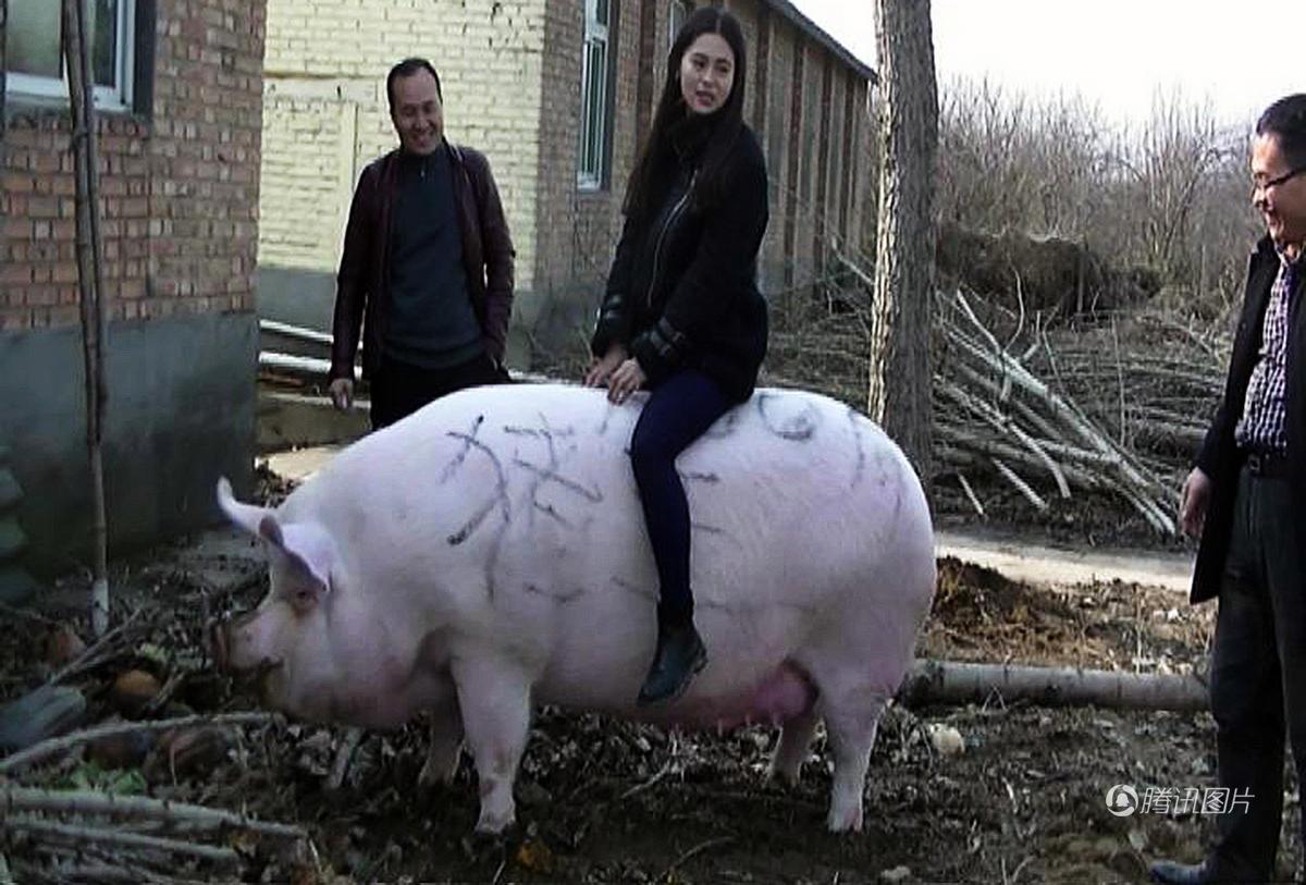 """郑州1500斤""""猪王""""美女当牛骑"""