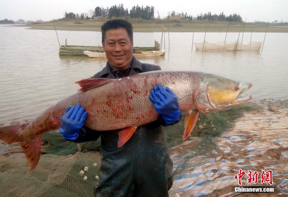 江西渔民捕获70余斤重超大鳡鱼