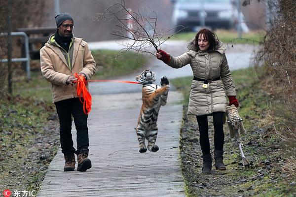 德国小虎崽被人类家庭抚养 画面好有爱