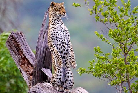 摄影师深入南非公园 捕捉猎豹优雅凝眸