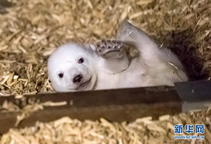 国际热点 正文  这是德国柏林动物园1月9日发布的北极熊宝宝的照片.