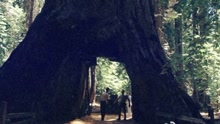 """加州现""""隧道树""""可容车辆通过"""