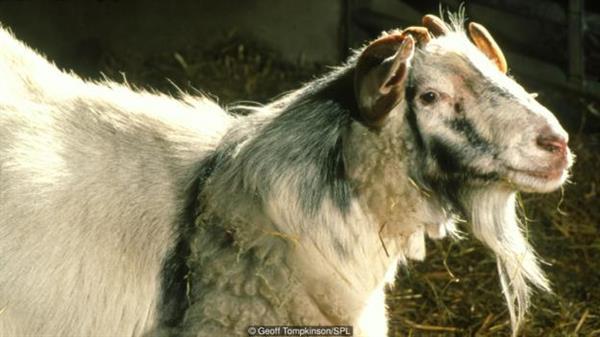 山羊与绵羊的杂交非常罕见。 与混合后的细胞分布在全身各处的山羊-绵羊嵌合体不同,科学家希望嵌合体生物中的外来组织全都集中在某个特定器官中。通过操控特定基因,研究人员希望能将宿主体内的特定器官空出,让人类细胞在空缺处生长成一定大小和形状的器官。动物就是我们的孵化器。加州大学戴维斯分校的帕布罗·胡安·罗斯(Pablo Juan Ross)说道,他本人也在从事相关研究。 我们已经知道,这在理论上是可行的。2010年,斯坦福大学医学院的中内宏光(Hiromitsu Nakauchi