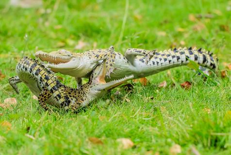 印尼鳄鱼为抢晒太阳地盘开战 场面激烈