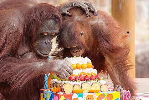"""最年长红毛猩猩庆生 与孙子""""玩""""蛋糕"""