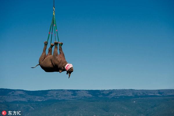 南非黑犀牛乘直升机搬家 穿山越岭游走云端