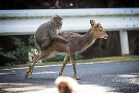 """日本屋久岛公猴与母鹿""""交配""""震惊学界 被科学家拍到"""