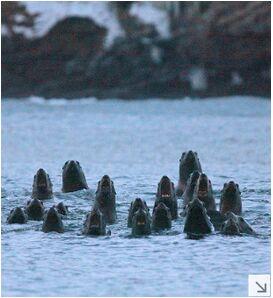 """日北海道开展""""海兽观光旅行"""" 北海狮齐吼景象壮观"""