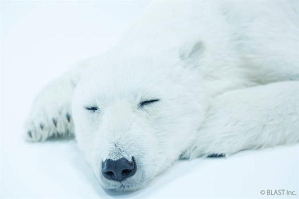 81万1:1北极熊玩偶:连牙垢都完美还原