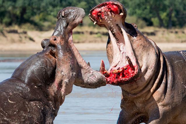 赞比亚两河马大打出手血溅当场似涂口红