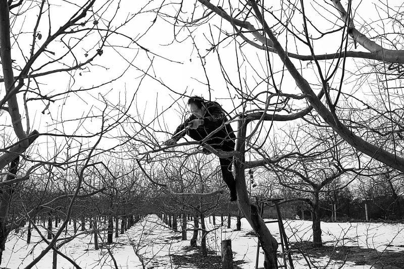 """宁县40万亩苹果园完成""""美容"""""""