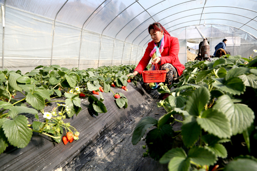 打工夫妇回乡创业  种植草莓助农增收(图)
