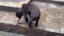 印尼死亡动物园疑虐待动物 马来熊饿到吃粪便