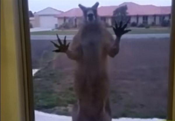 死神来了!居民门外惊现肌肉袋鼠疯狂敲窗