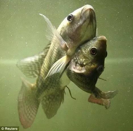 真相| 日本核泄漏区产巨型生蚝 是基因变异?这些核辐射谣言不可信!