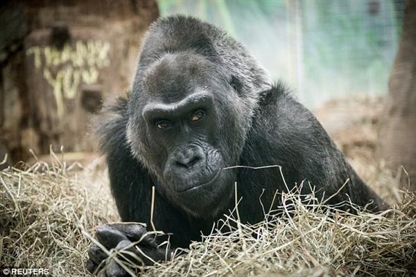世界最年长圈养大猩猩寿终正寝 它活了60年