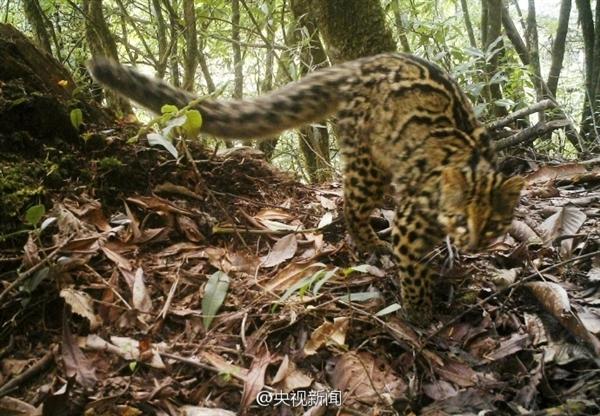 云南怒江首次拍到神秘云猫:濒临灭绝