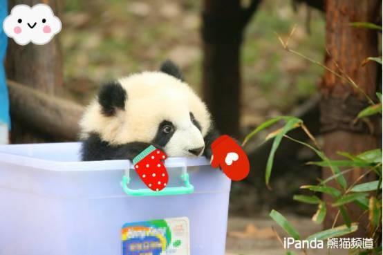 """全世界""""两脚兽""""都想给萌团子当奶妈,BBC揭秘熊猫饲养员日常"""