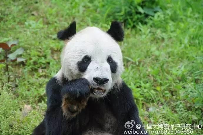 """传奇大熊猫""""盼爷""""离世  网友:谢谢你来过这个世界!"""