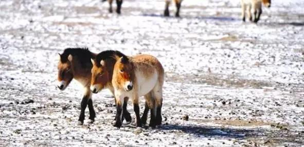 """它们是世界濒危的""""有蹄类动物"""" 有些惟中国独有"""