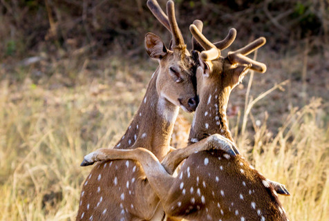 """印度国家公园两只雄鹿玩""""爱的抱抱"""""""