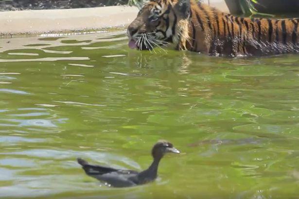 """勇敢!澳动物园鸭子敢与老虎玩""""猫捉老鼠"""""""