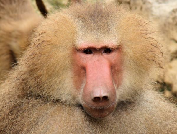 科学界最大未解之谜之一:狒狒叫声藏人语起源秘密