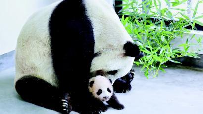 规范大熊猫借展究竟还有多远?