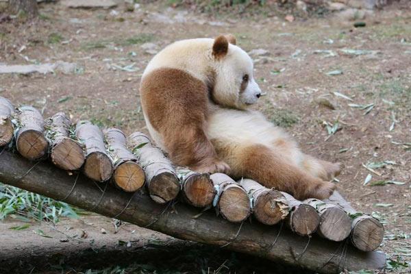 """萌一脸!棕色大熊猫七仔见雪变身""""雪花熊"""""""