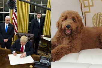 特朗普给白宫换金装 第一狗也选金贵犬