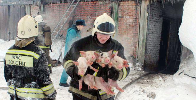 俄罗斯一养猪场发生大火 消防员救出近150头猪