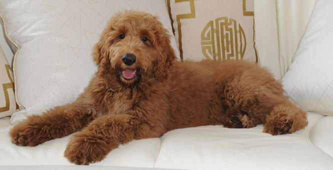 """美国总统特朗普选出新的""""白宫第一狗"""" 名叫""""巴顿"""""""