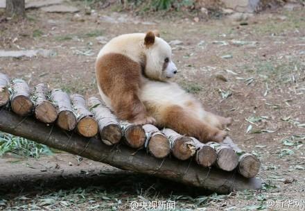"""爱到无法自拔!大熊猫见雪变身""""雪花熊"""""""