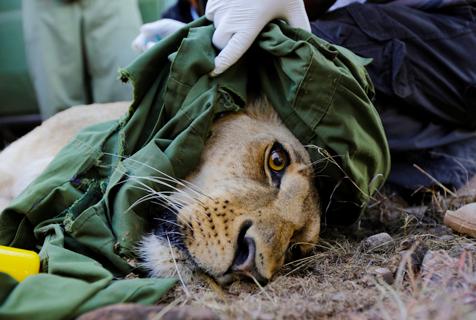 肯尼亚狮子戴无线电项圈一脸生无可恋