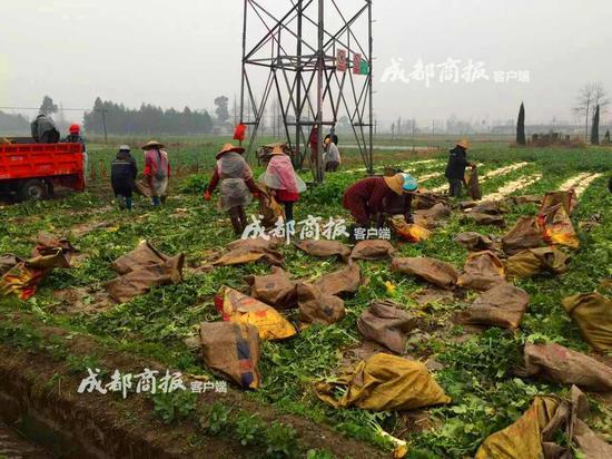 400多万斤萝卜滞销 众人发动亲友一天买5万斤