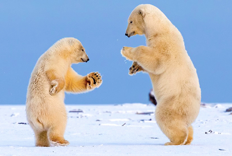 """阿拉斯加两北极熊跳""""华尔兹"""""""