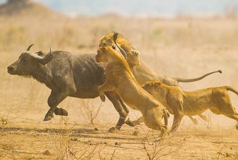 南非怀孕水牛遭狮群围攻成其口中餐