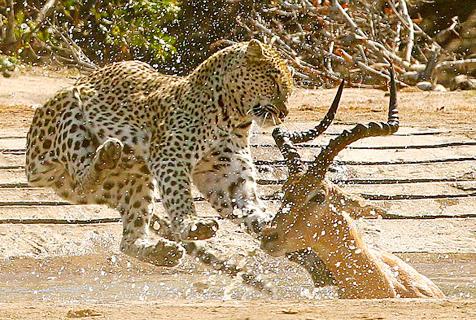 在劫难逃!南非花豹跃起突袭饮水黑斑羚